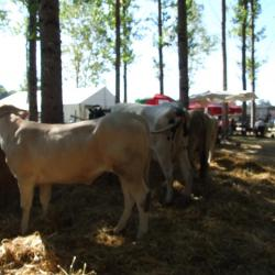 EXPOSITIONS VACHES